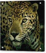A Jaguar On The Prowl Acrylic Print by Steve Winter