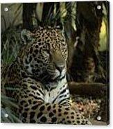 A Jaguar's Gaze Acrylic Print