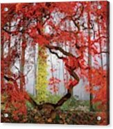 A Japanese Maple Tree Acrylic Print