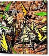 A Kaleidoscope Of Butterflies Acrylic Print