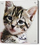 A Kittens Helping Hand Acrylic Print