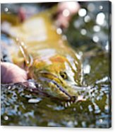 A Large Cutthroat Being Released Acrylic Print