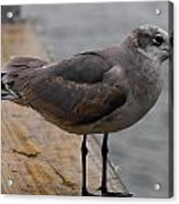 A Laughing Gull Acrylic Print