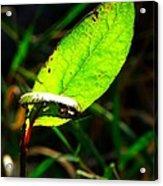 A Leaf... Acrylic Print