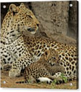 A Leopard Cub With Her Mother Acrylic Print