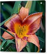 A Lily's Golden Heart Acrylic Print