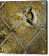 A Lions Eye Acrylic Print
