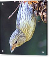 A Little Bird Eating Pine Cone Seeds  Acrylic Print by Jeff Swan