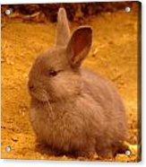 A Little Bunny Acrylic Print