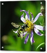 A Little Nectar Seeking Fruit Fly Acrylic Print
