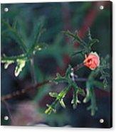 A Little Peach Flower Bud Acrylic Print