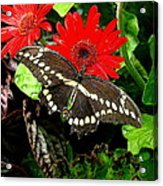 A Little Tattered Acrylic Print