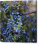 A Local Tree In Winter Finery Acrylic Print