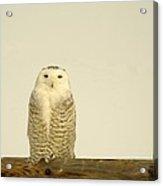 A Lone Artic Owl Acrylic Print