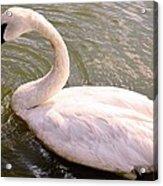 A Lone Swan Named Gracie Acrylic Print