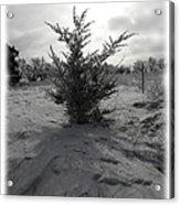A Lonely Little Prairie Ceder Acrylic Print