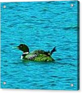 A Loonie Loon Acrylic Print by Jeff Swan