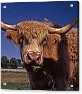 A Lot A Bull Acrylic Print by Skip Willits