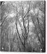 A Low Angle View Of A Ironwood Acrylic Print