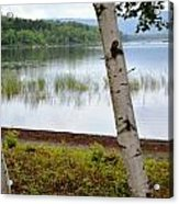A Maine White Birch Pairing Acrylic Print