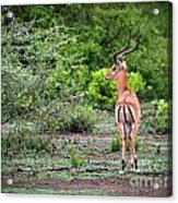 A Male Impala In Lake Manyara National Park. Tanzania. Africa. Acrylic Print