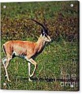 A Male Impala In Ngorongoro Crater. Tanzania Acrylic Print