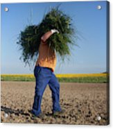 A Man Harvests Sedge To Be Used Acrylic Print