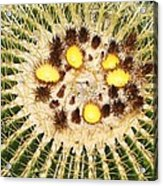 A Mexican Golden Barrel Cactus With Blossoms Acrylic Print