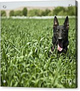 A Military Working Dog Sits In A Field Acrylic Print by Stocktrek Images