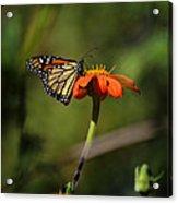 A Monarch Butterfly 1 Acrylic Print