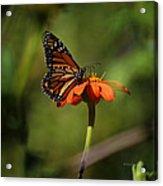 A Monarch Butterfly 2 Acrylic Print