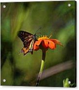 A Monarch Butterfly 3 Acrylic Print