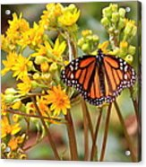 A Monarch Butterfly Acrylic Print