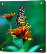 A Monarch Acrylic Print