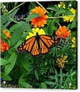 A Monarchs Colors Acrylic Print