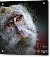 A Monkey's Look Acrylic Print
