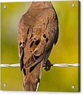 A Morning Dove Acrylic Print