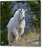 A Mountain Goat Stands On A Grassy Acrylic Print