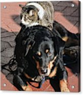 A Mouse On A Cat On A Dog In Santa Acrylic Print