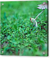 A Mushroom Sprouts Acrylic Print