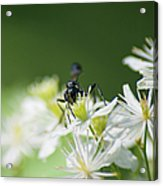 A Nectar Drink For This Black Mud Dauber   Acrylic Print