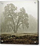A Old Oak On A Foggy Day  Acrylic Print
