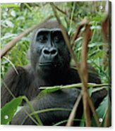 A Once Captive Gorilla Is Now Acrylic Print
