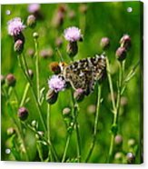 A Painted Lady Acrylic Print