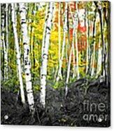 A Painting Autumn Birch Grove Acrylic Print