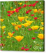 A Painting Tuscan Poppies Acrylic Print