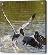 A Pair Of Brown Pelicans Acrylic Print