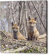 A Pair Of Cute Kit Foxes 3 Acrylic Print