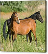 A Pair Of Mustangs Acrylic Print