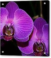 A Pair Of Purple Orchids From Bermuda Acrylic Print